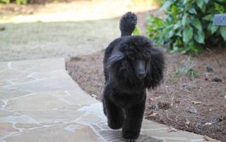 Carlton - standard poodle